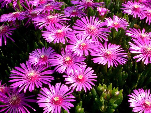 11月5日の誕生花 松葉菊、松葉牡丹、オンシジウム