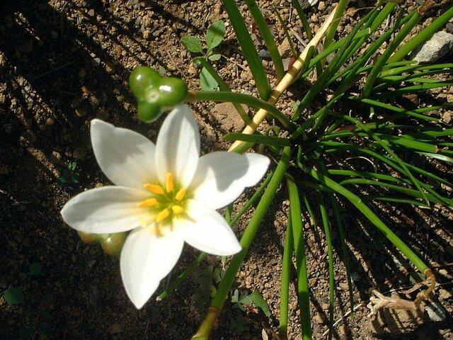 Zephyranthus candida