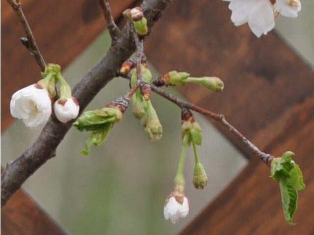 Kobuku zakura