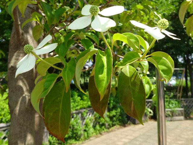 Japanese Flowering Dogwood