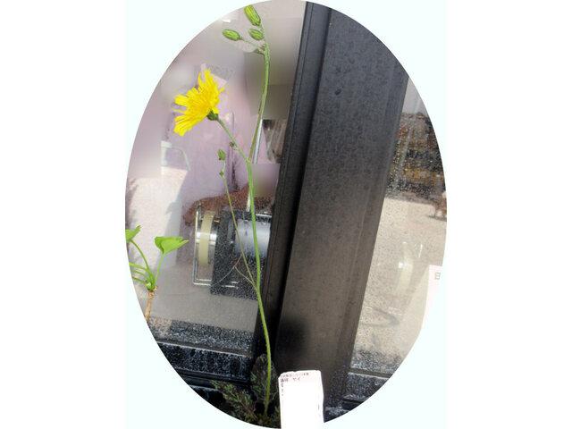 Hieracium maculatum