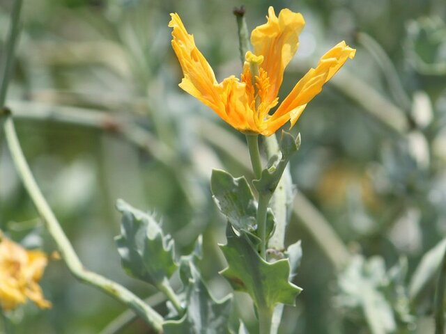 Horned poppy