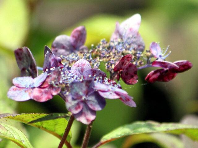 Hydrangea serrata 'Youkihi'