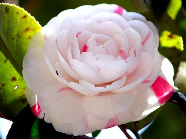 Camellia Shibori  otome
