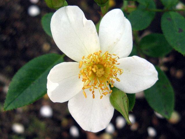 玫瑰 '小雪'