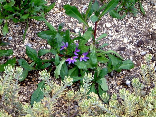 Blue fan flower