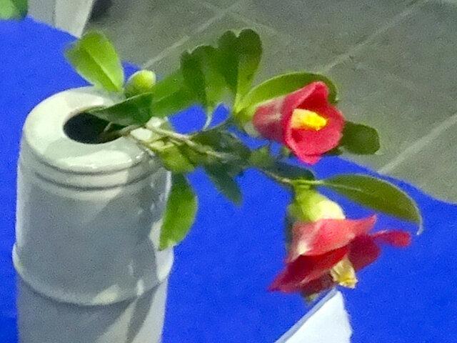 Camellia 'minato-no-akebono'