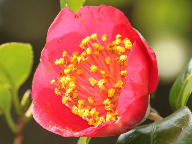Camellia Higo-momijigari