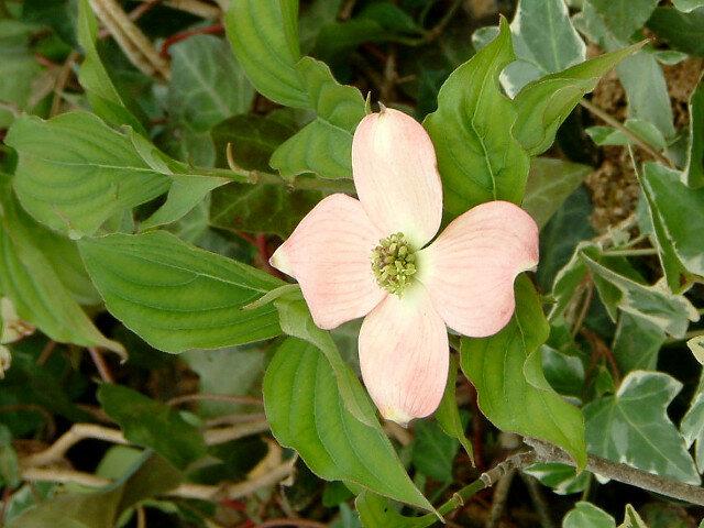 Flowering dogwood 'Stellar Pink'
