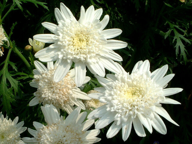 Marguerite 'White moon'