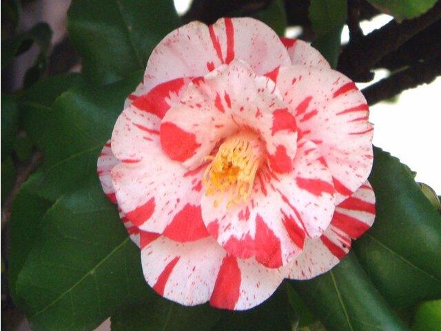 12月21日の誕生花 白椿、スペアミント