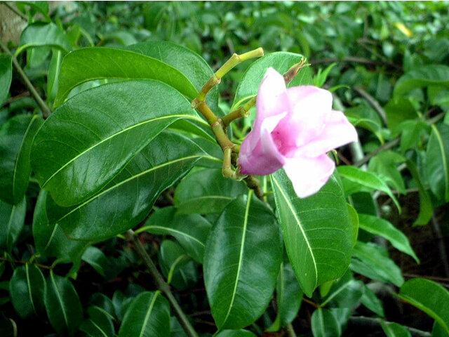 橡膠紫茉莉