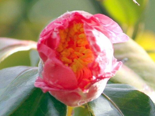 Camellia Gekkabijin