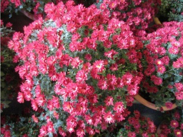 Chrysanthemum morifolium