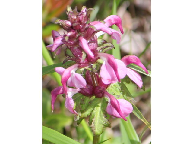 Pedicularis japonica