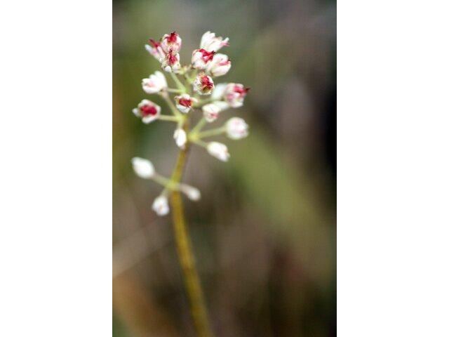 Tofieldia japonica