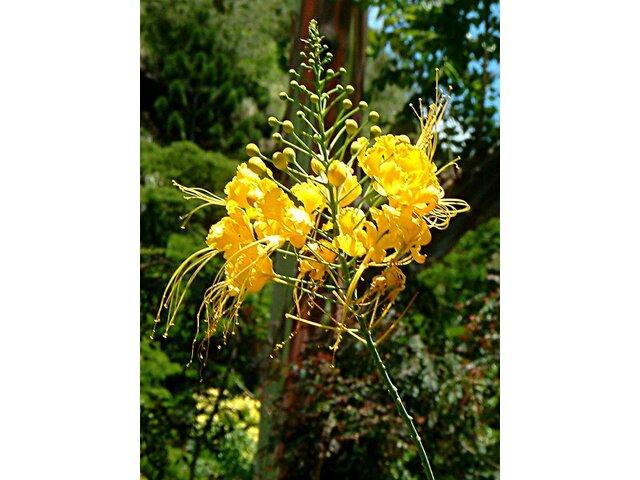 Yellow flowers of Caesalpina