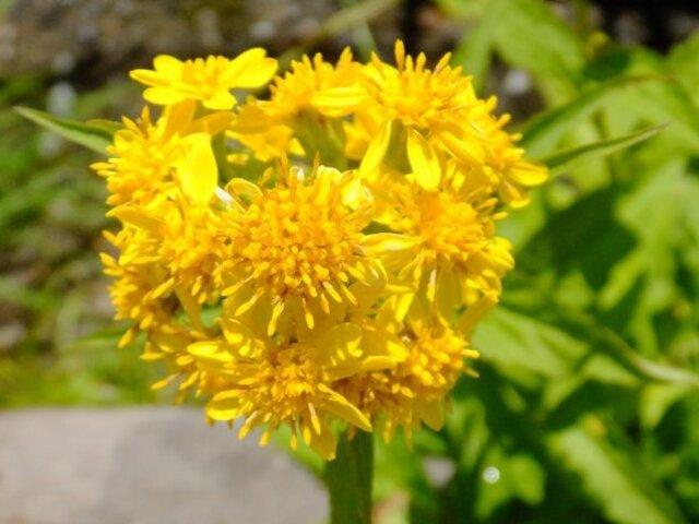 Miyama goldenrod
