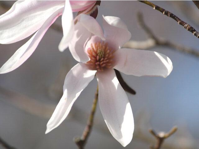 Magnolia 'Robert's Dream'