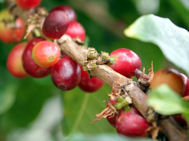 Arabian coffee tree