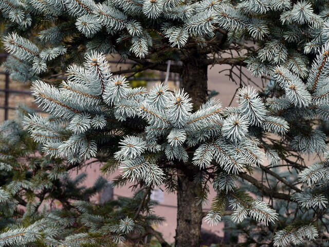 Blue spruce 'Hoopsii' Picea pungens