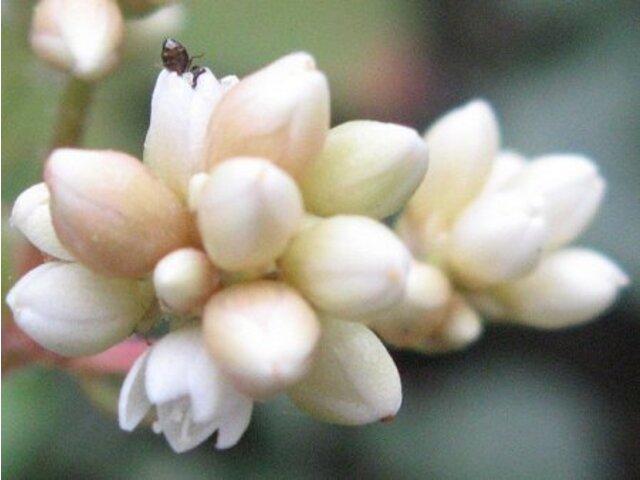 Persicaria chinensis