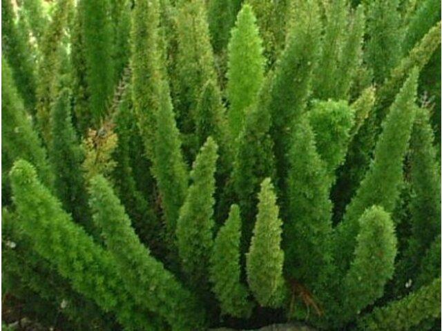 Asparagus densiflorus 'Myers' Asparagus densiflorus Myers