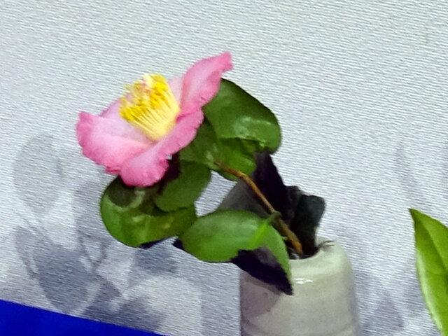 Camellia 'Juraku'