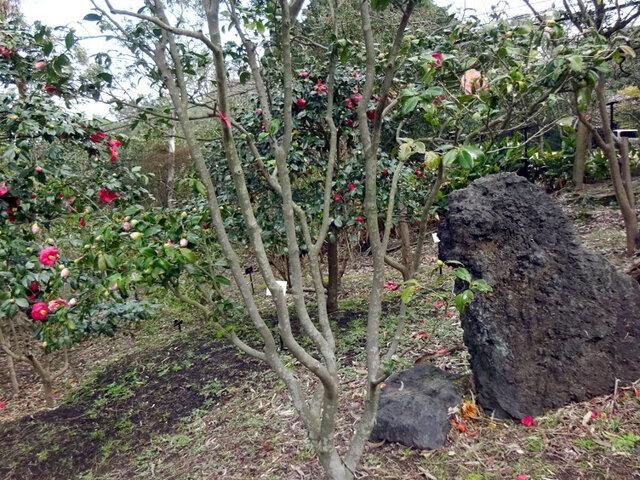 Camellia Tamadare