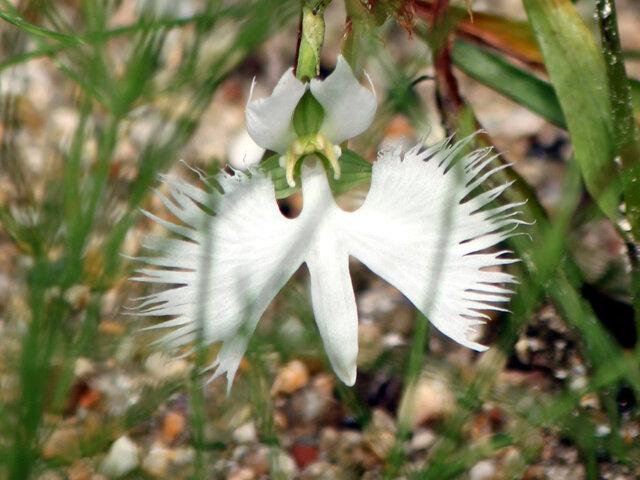 White Egret Flower