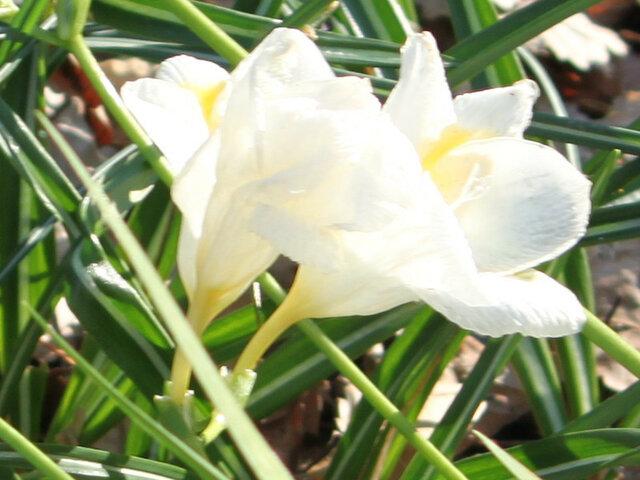 12月17日の誕生花 フリージア、枇杷