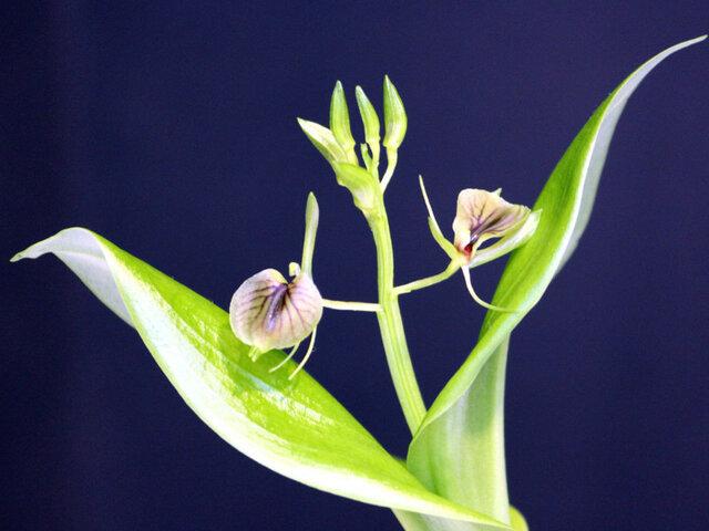 Orchid of the Tsukuba experiment botanical garden