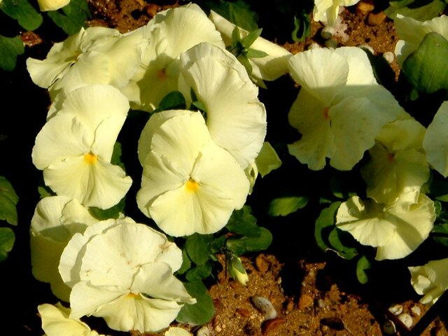 Viola 'Delta Pure Primrose'
