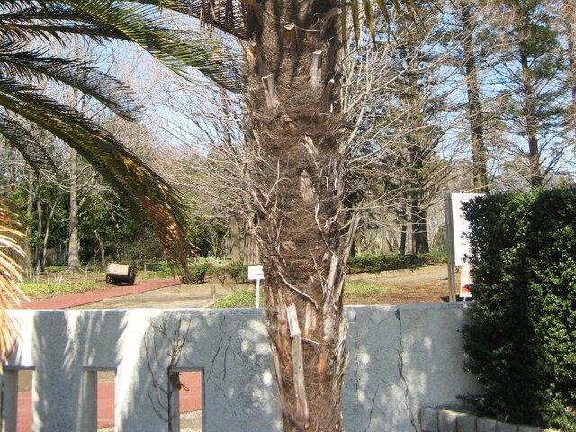 windmill palm
