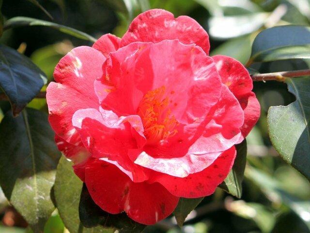 Camellia Fukihime