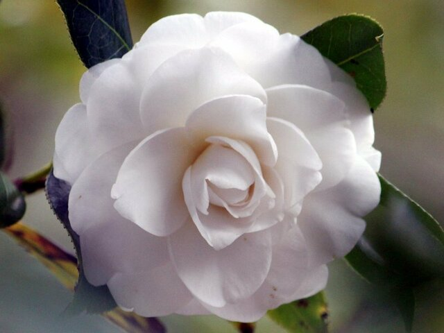 Camellia Alba Plena