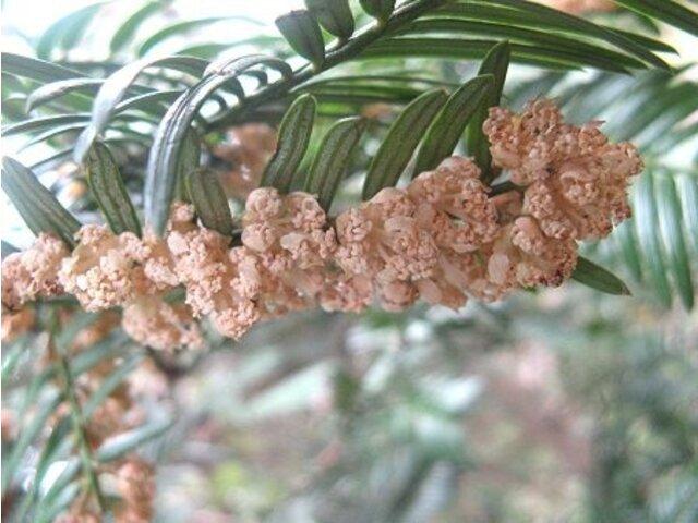 Cephalotaxus harringtonia
