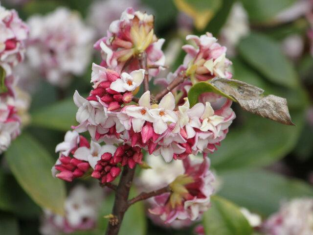 Daphne odora rosacea