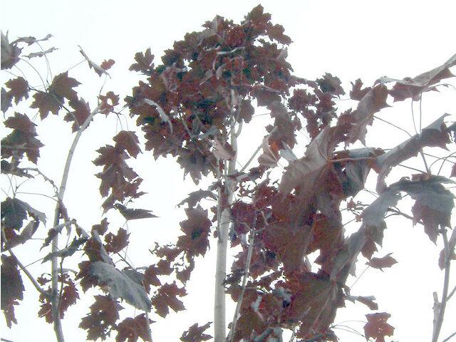 紫色葉挪威枫