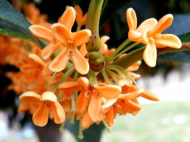 11月25日の誕生花 金木犀、パンパスグラス