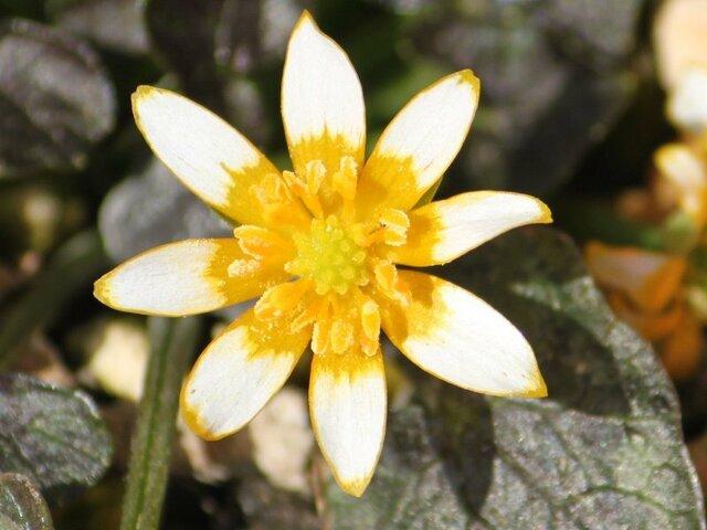 Ranunculus Coppernob