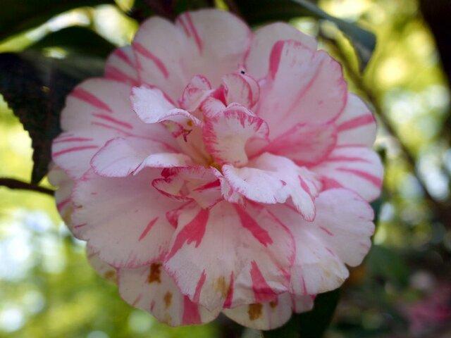 Camellia Shuchuka