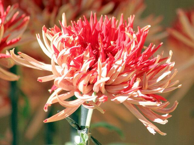 10月1日の誕生花 菊(紅色)