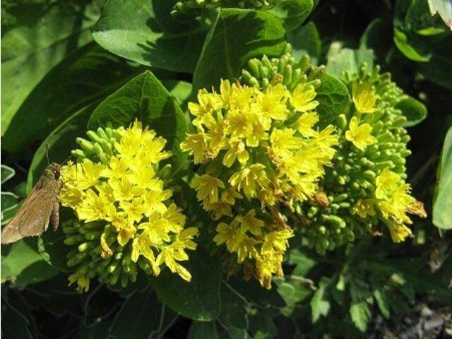Crepidiastrum platyphyllum