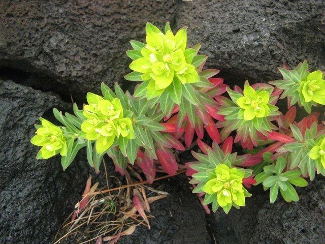 Euphorbia jolkinii