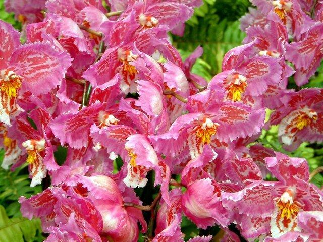 Odontioda Orchid Marie Noelle 'Verano'