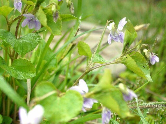 大紫花堇菜