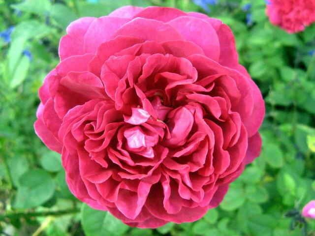玫瑰 '黑暗女士'