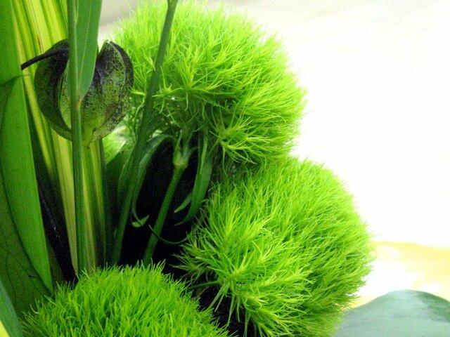 绿把戏须苞石竹