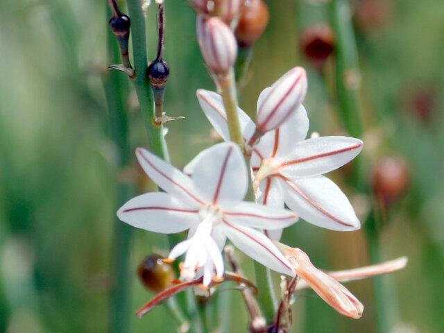 阿特拉斯金穗花